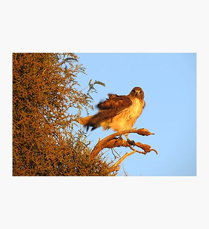 Red-tailed Hawk at Sunset Photographic Print