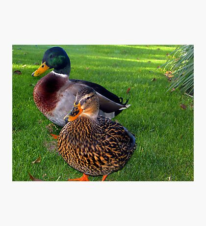 A Ducky Couple  Photographic Print