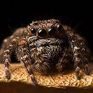 (Servaea vestita) Jumping Spider #8 by Kerrod Sulter