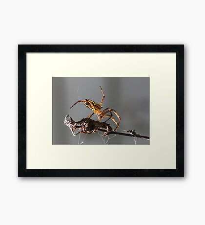 New Rodeo pursuit.. leg ropping spiders... Framed Print