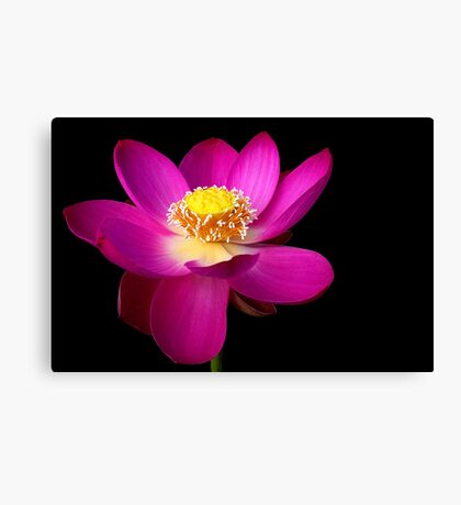 The Pink Lotus Canvas Print