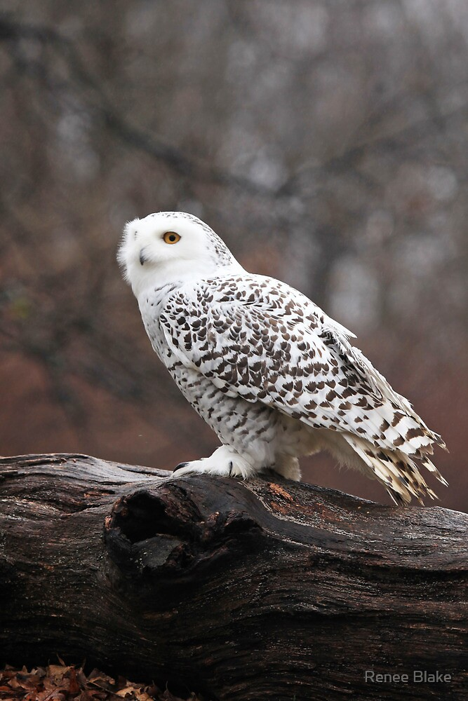 Snowy Owl Portrait ~ by Renee Blake