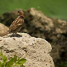 Call of the house sparrow by njumer