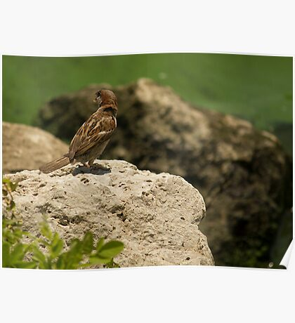 Call of the house sparrow Poster