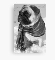 Snow Pug Metal Print