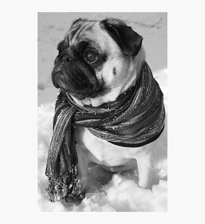 Snow Pug Photographic Print