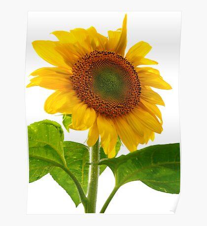 Sunflower Days Poster