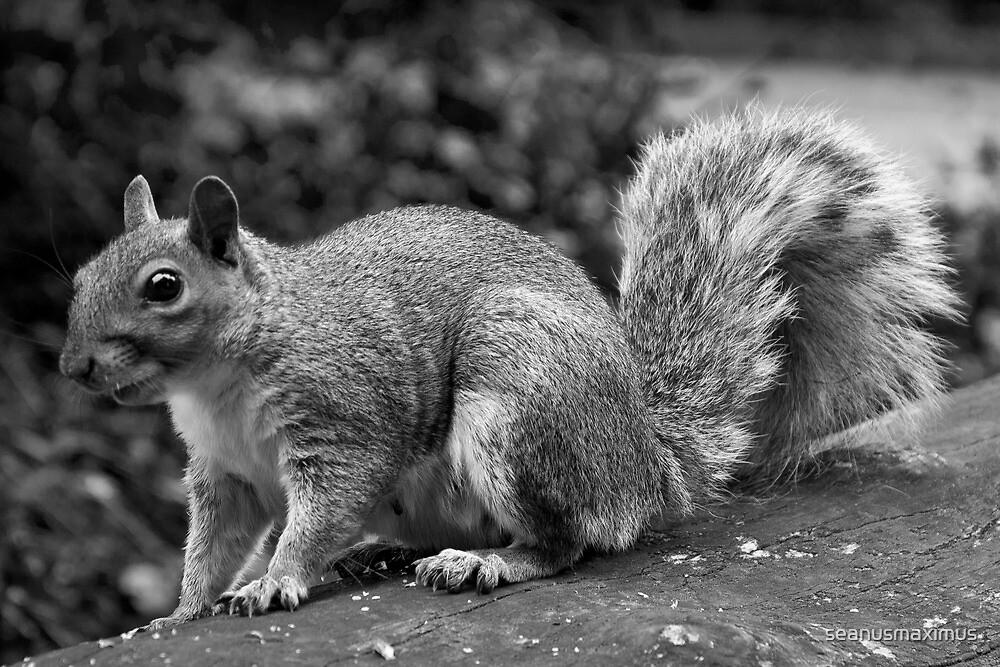Squirrel by seanusmaximus