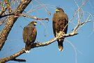 Harris's Hawks by Kimberly Chadwick