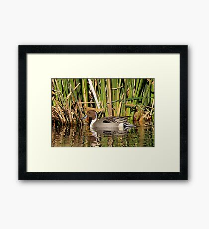 Northern Pintail (Male) Framed Print