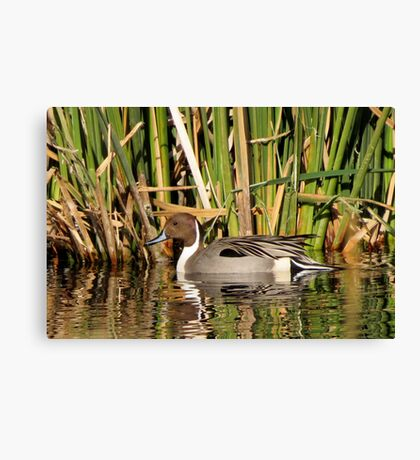 Northern Pintail (Male) Canvas Print