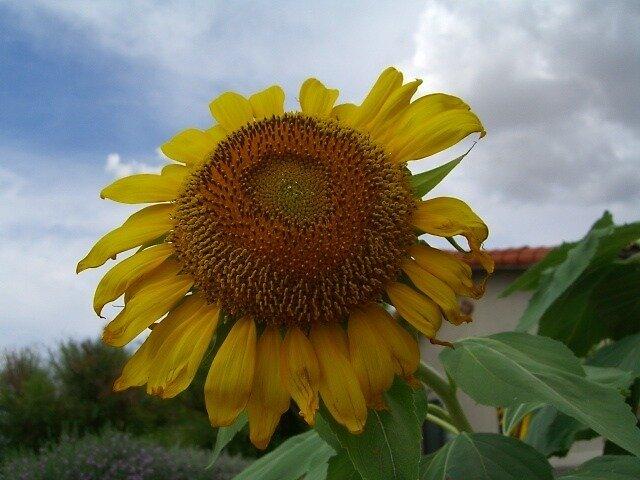 Sunflower by Peg Robb