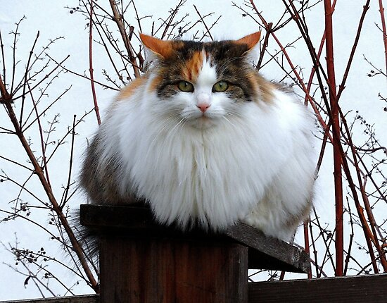 Fluffy on the Fence by PierPhotography