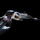 Flying Kookaburra by TonySlattery