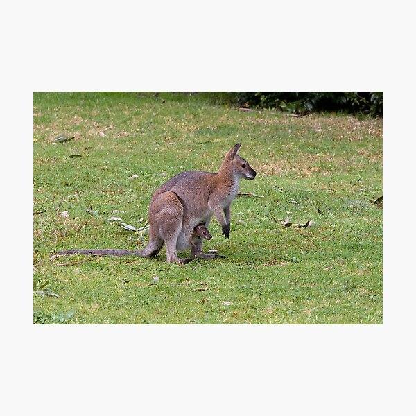 Wallaby with joey Photographic Print