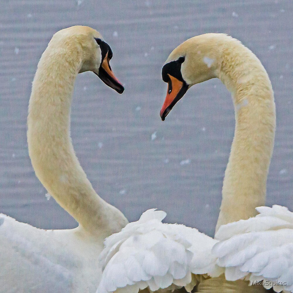 Swans in the snow by MikeSquires