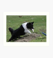 Border Collie Pouncing Art Print