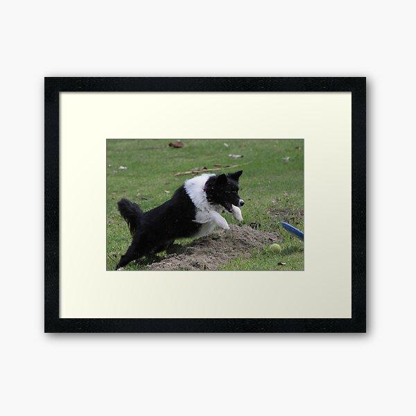 Border Collie Pouncing Framed Art Print