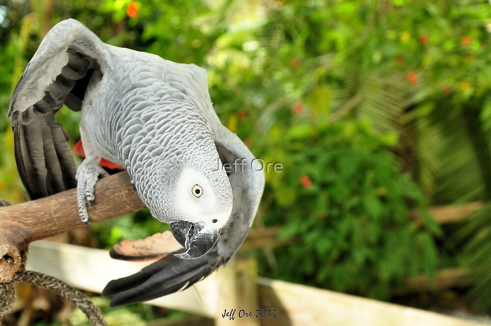 Dancing African Grey by Jeff Ore