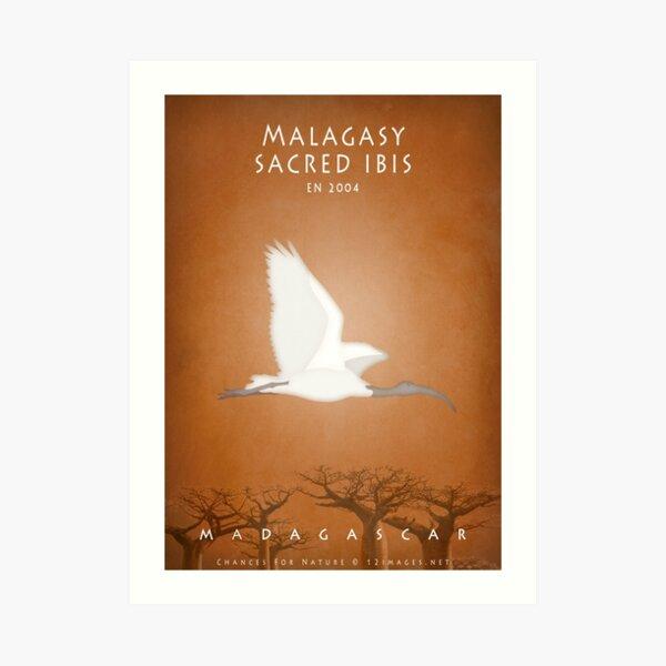 Malagasy sacred ibis Madagascar wildlife Art Print
