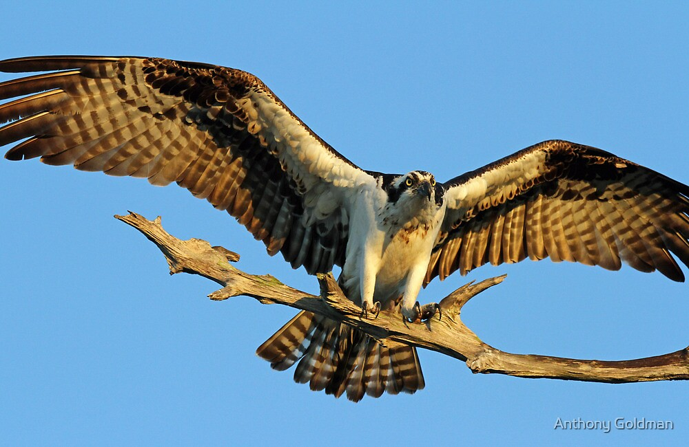 Thats what i call wings ! by Anthony Goldman