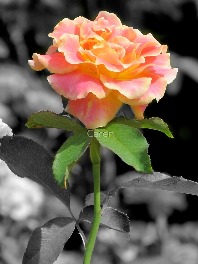 Yellow Tipped Rose by Caren