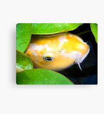 Coy Koi - Yellow and White Koi Under Lily Pads Canvas Print