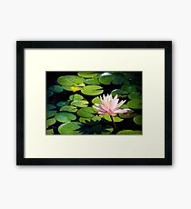 Pink Water Lily Flower above a  Pond Framed Print