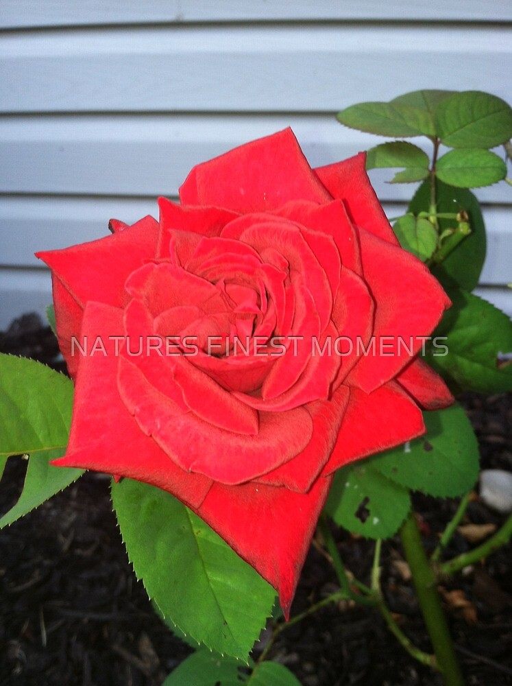 Rose by NATURES FINEST MOMENTS