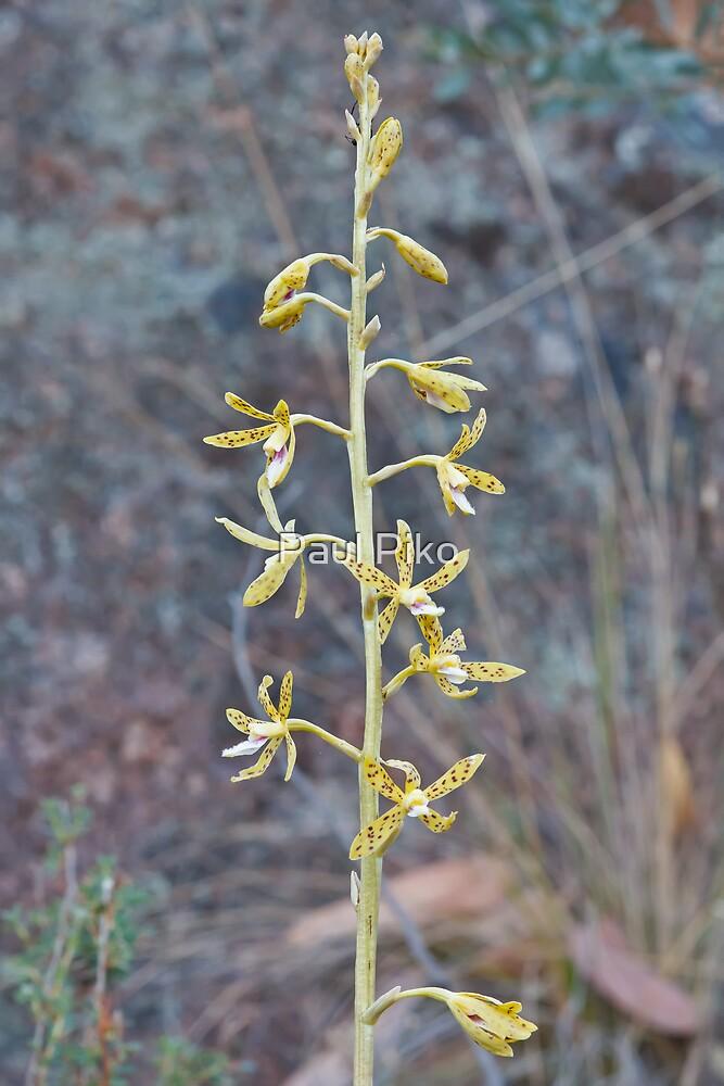 Yellow Hyacinth Orchid - Dipodium hamiltonianum by Paul Piko