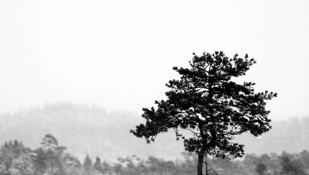 16.1.2013: Lonely Pine Tree by Petri Volanen