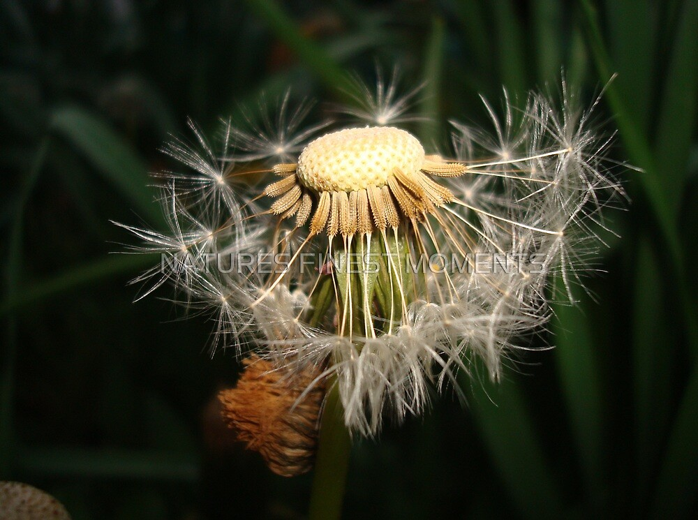 Dandelion  by NATURES FINEST MOMENTS