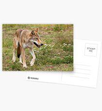 Wolf walking Postcards