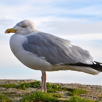 Chilly Herring Gull by lynn45