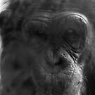 Pensive Chimpanzee by xomoosexo