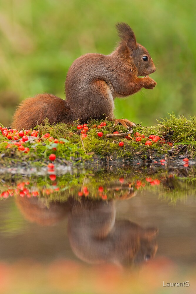 Red Squirrel eating + reflection by LaurentS