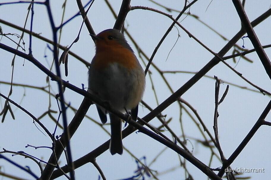 winter robin by davidhtarrant