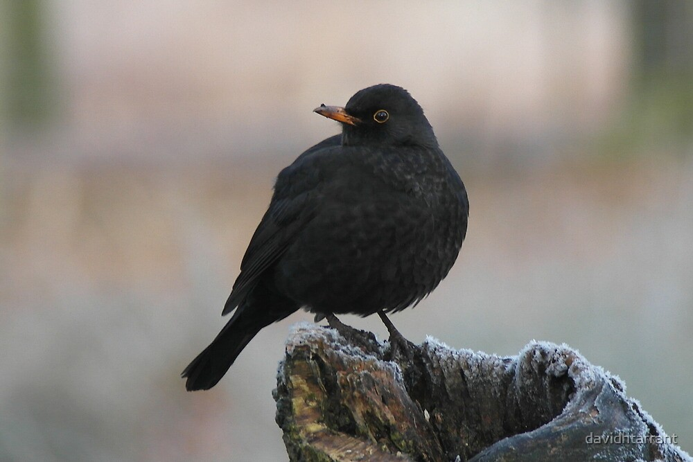blackbird  by davidhtarrant