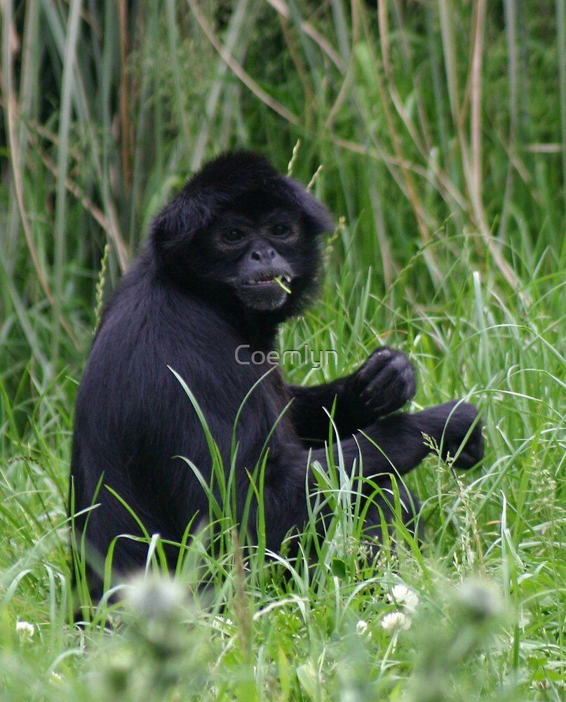 Monkey eating in the grass  by Coemlyn