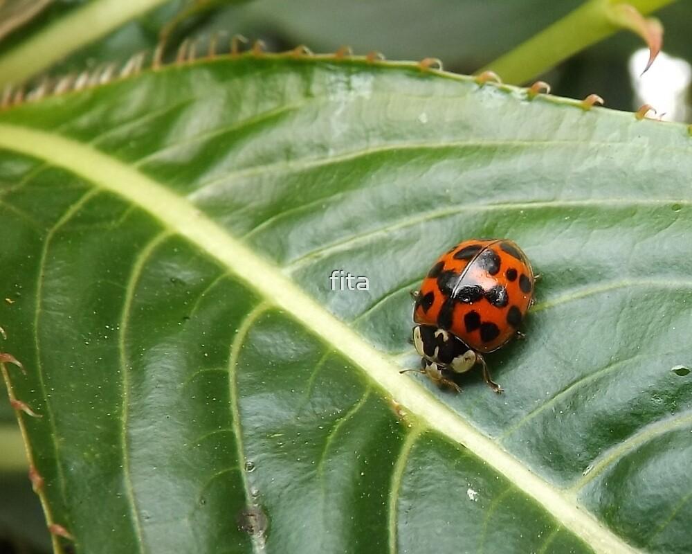 ladybug by fita