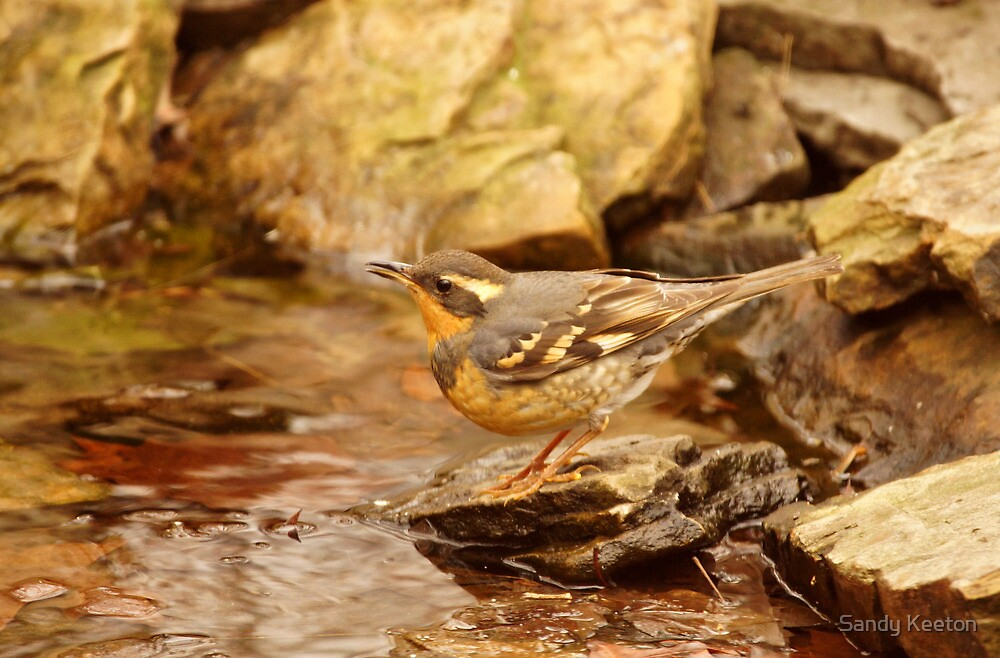 Varied Thrush by Pond by Sandy Keeton