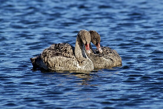 Swans by Mitchins