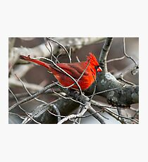 Northern Cardinal in Budding Maple Twigs Photographic Print