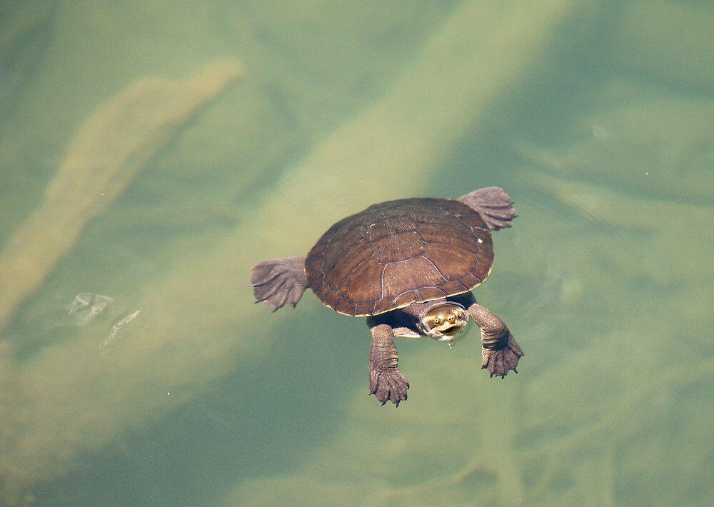 Young Turtle by Bean Strangeways
