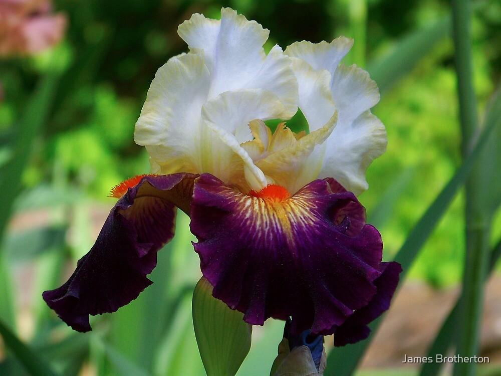 Bearded Iris by James Brotherton