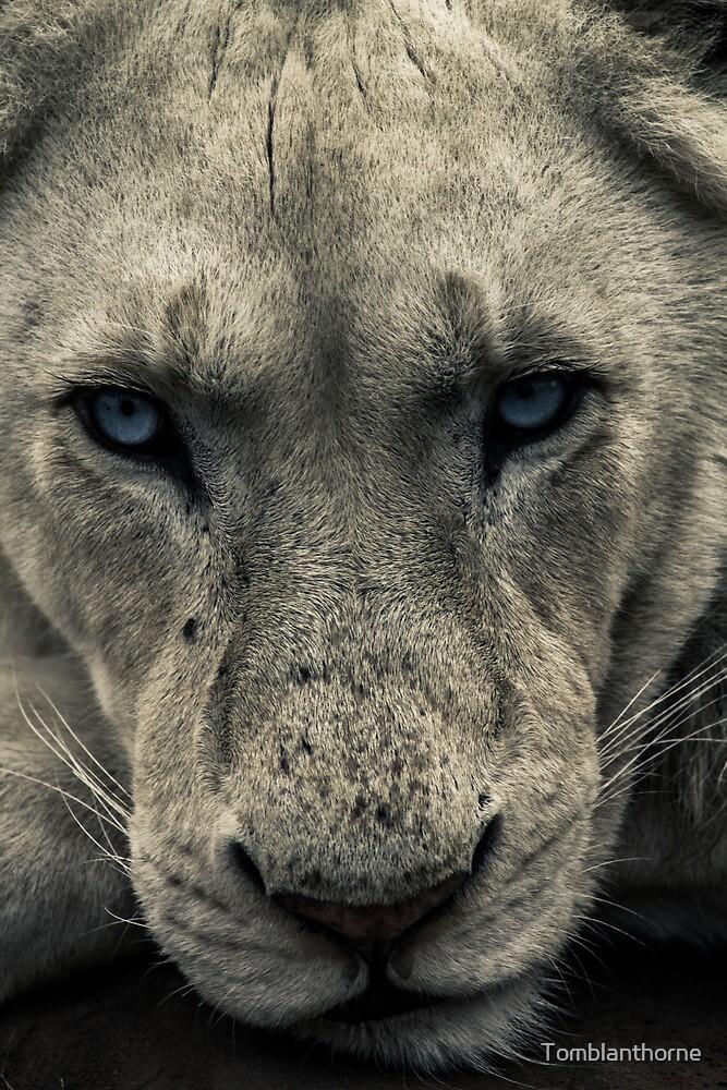 White Lion Portrait by Tomblanthorne