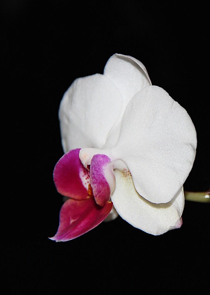 White orchid by Roksana