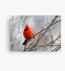 Northern Cardinal in a Maple Tree Canvas Print