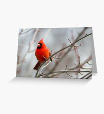 Northern Cardinal in a Maple Tree Greeting Card