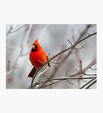 Northern Cardinal in a Maple Tree Photographic Print